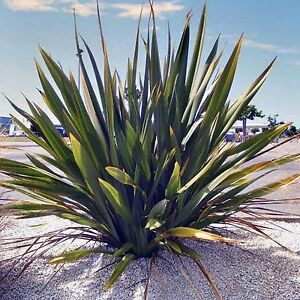 Green New Zealand Flax Seeds Phormium Tenax Landscaping Pot 25 Seed Pack Ebay