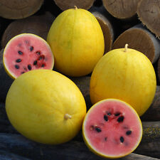 Watermelon Seeds - GOLDEN MIDGET - Citrullus Vulgaris - Gmo Free - 10 Seeds