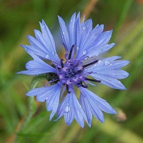 des fleurs sauvages abeilles Pâturage Kornblume 200 Graines Centaurea cyanus précieux