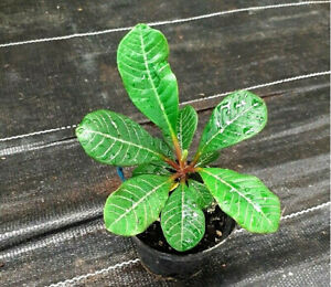 Spuckpalme - Euphorbia leuconeura