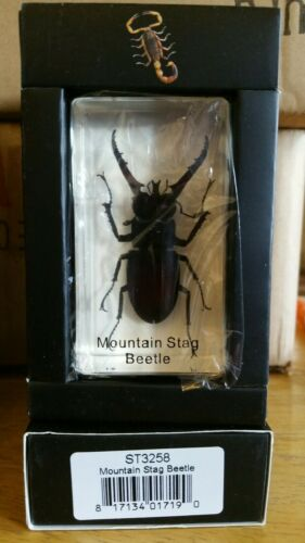 Mountain Stag beetle Real Insect PAPERWEIGHT Entomology Bug Taxidermy Resin MB92