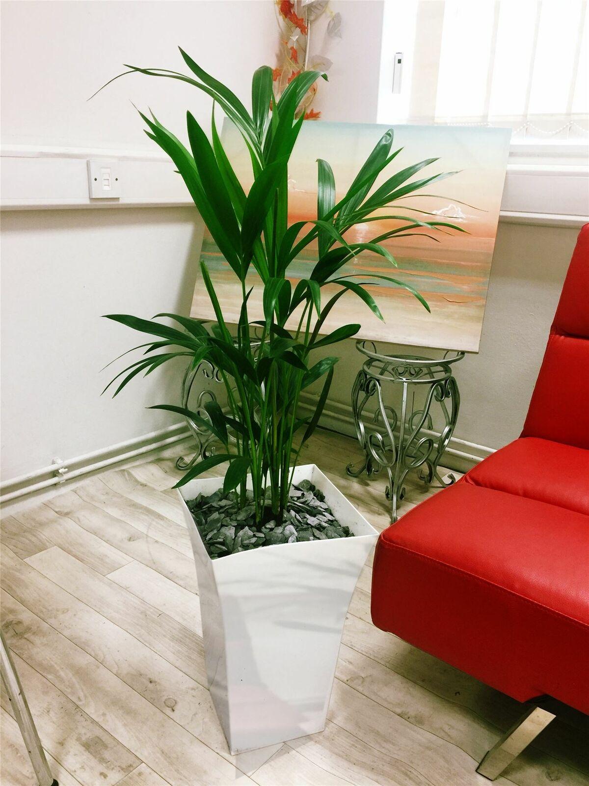 1 grandi Kentia Palma House Floor pianta in bianco lucido MILANO pot alto 90 - 100cm