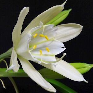 Amazing, rare Pamianthe peruviana! - Beautiful Orchid companion - Bulb