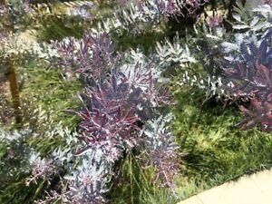 10 Purple Acacia Baileyana Purpurea Fernleaf Mimosa Tree Yellow