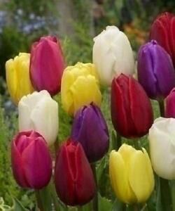 Fiori Perenni.Set 100 Bulbi Tulipano Misti Varieta Triumph Olandese Fiori