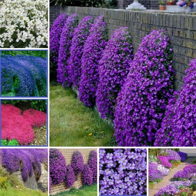 1bag 100pcs Plant Flower Seeds Creeping Thyme Seeds Climbing Plant Beautifying For Sale Online Ebay
