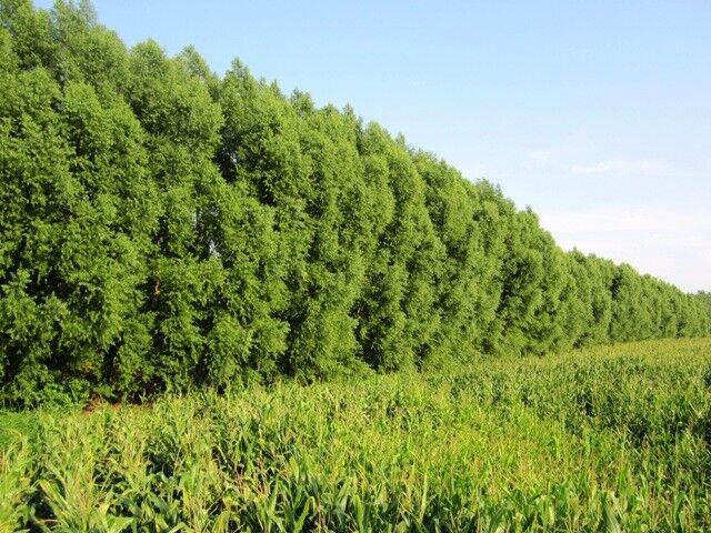 100 Hybrid Willow Tree Fast Growing Shade Screen Windbreak Austree Bundle of 100