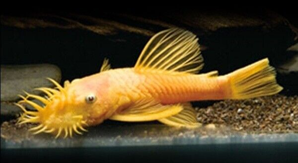 Pair of Ancistrus sp. gold (Catfish) approx. 4.5 - 5 cm