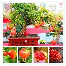 Bonsai tree pomegranate 15 seeds home plant Delicious fruit seeds big and sweet