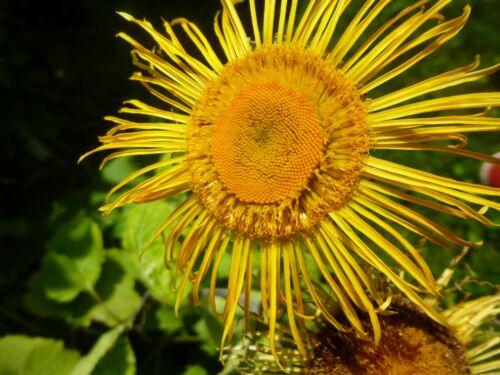 FAST DISPATCH INULA HELENIUM 80 SEEDS YELLOW PERENNIAL FLOWER SLYNE GARDEN