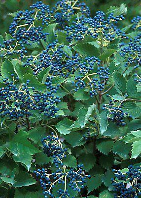 Blue Muffin 174 Arrowwood Viburnum Shrub Hardy Showy