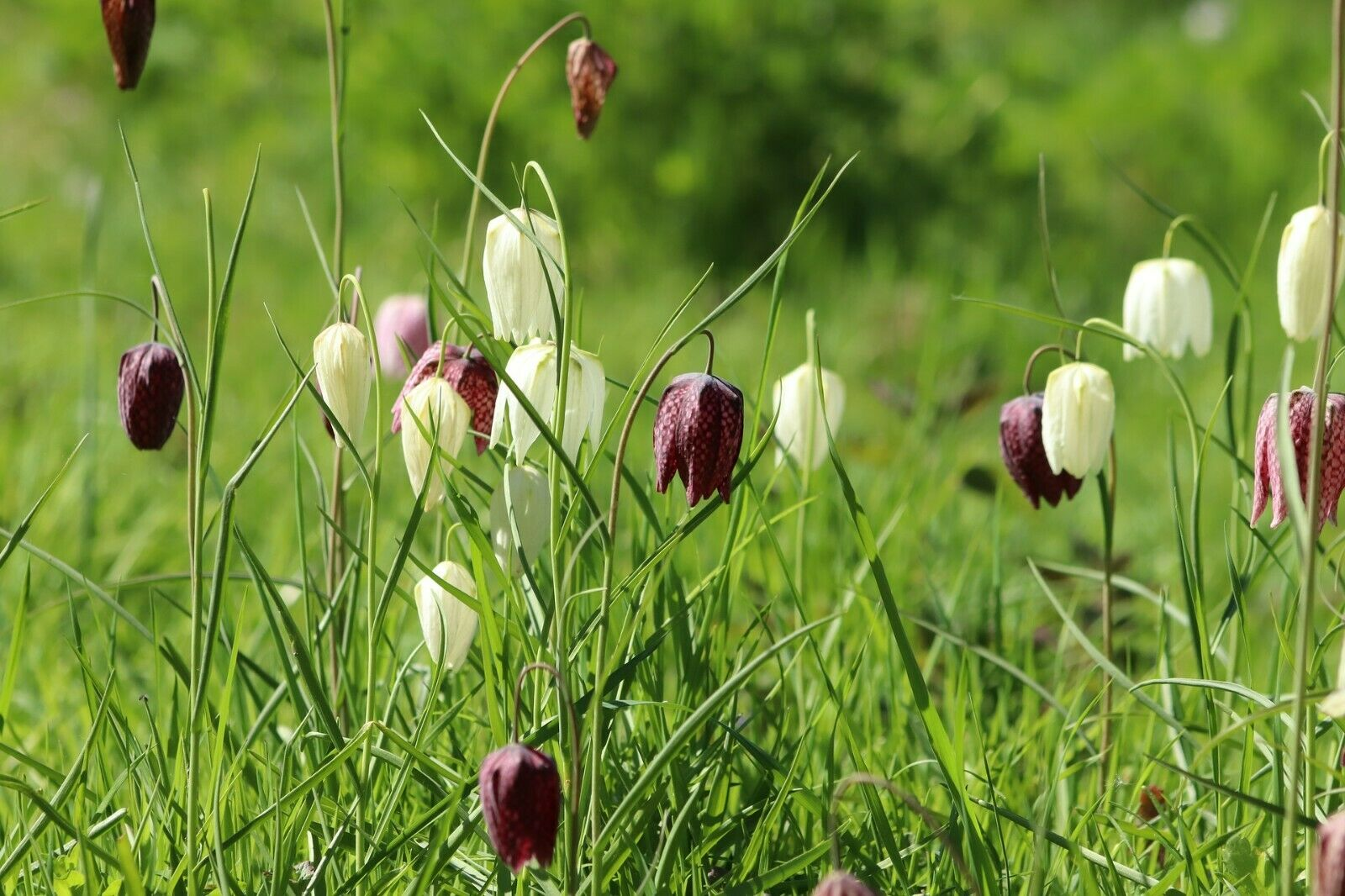 Fritillaria Meleagris (Snakeshead) Bulbs Packs of 10,25,50 IN STOCK NOW