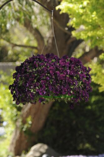 FLOWER PANSY TRAILING WINTER FLOWERING COOL WAVE PURPLE 200 SEEDS BULK
