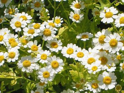 Feverfew  150 seeds medicinal herb garden