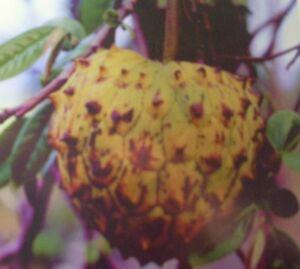 8-Semillas-Rollinia-Delliciosa-ANNONA-MUCOSA-Fruta-exotica-Tree-Samen