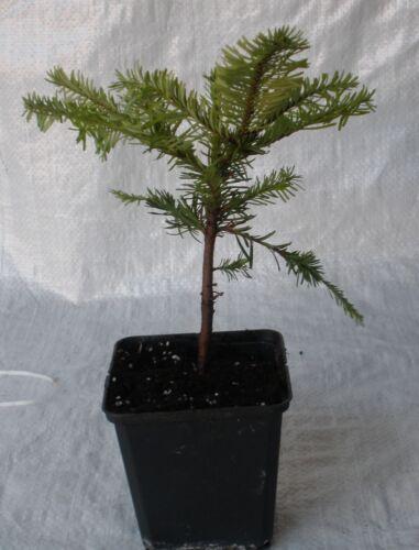 abies nobilis wales bleu arbre de noël les plantes dans un pot... Noble bleu fir