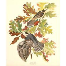 Mid Century Birds of America Folio Print after John Audubon Canada Jay 35 x 43cm