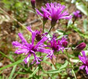Tall-Ironweed-Vernonia-angustifolia-50-Seeds