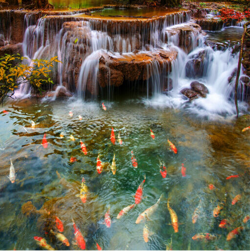 3D Freie Schöner Goldfish  Fototapeten Wandbild Fototapete BildTapete Familie DE