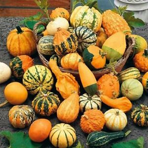 Seeds Ornamental Pumpkin Mix Giant Vegetable Garden Ground Organic Heirloom