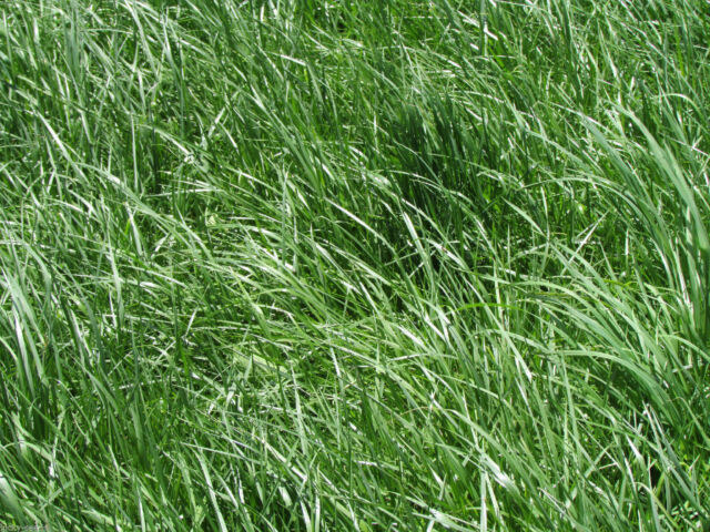 Kentucky 31 Tall Fescue Grass Seed Quot Raw Quot 50 Lbs For Sale