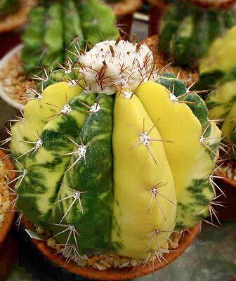 50 Melocactus caesius VARIEGATED seeds semi cactus variegate VARIEGATO super!!!!