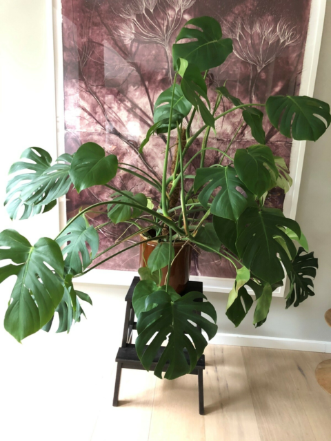 Monstera (fingerphilodendron), Monstera, 1 år gammel…