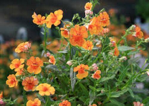 Bogo 50/%Off Ausverkauf Nemesia 100 Samen Orange Prinz