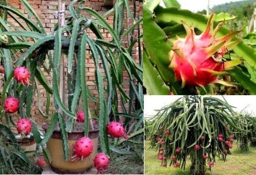 Kletter-Kaktus Hylocereus mit Kletterwurzeln Samen Unglaublich bunte Früchte