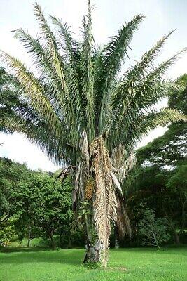 Riverside Sabal sp 10 seeds Cold Hardy Palm