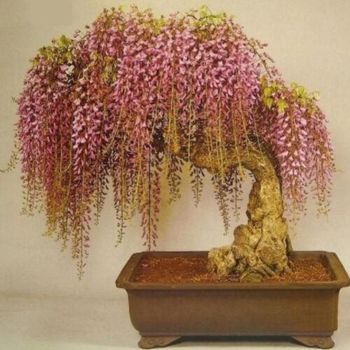 Zierpflanze Saat Q3X8 10 Stücke Seltene Wisteria Bonsai Samen Mini Bonsai Innen