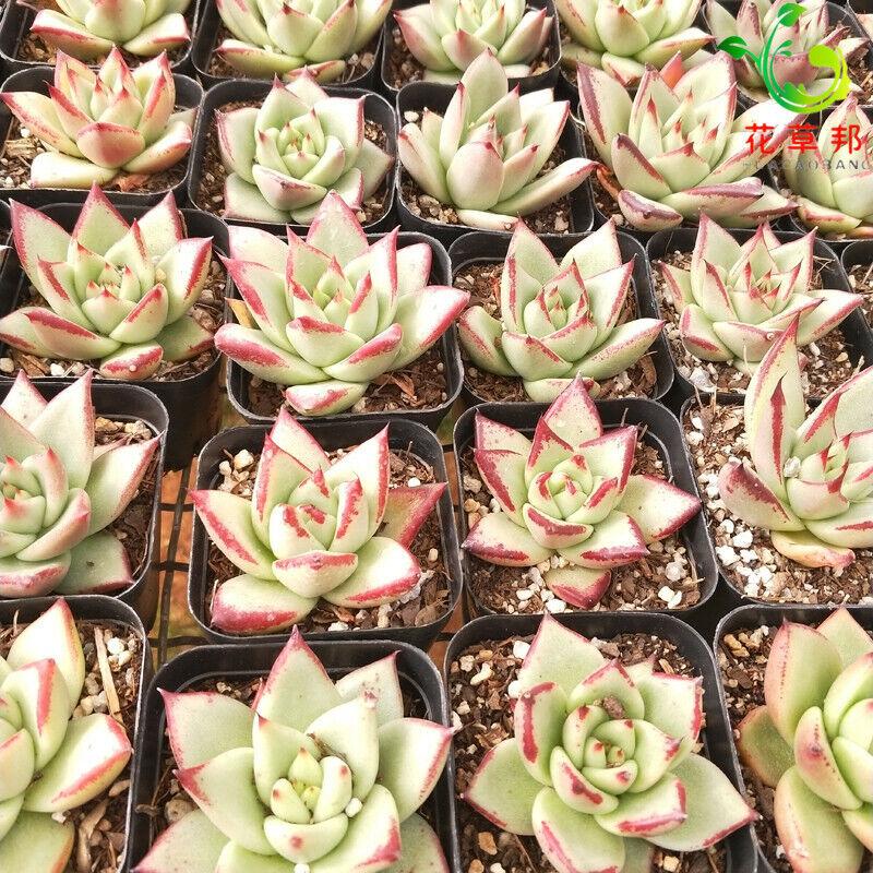 Succulent Live Plant Home Garden Beautiful Rare Plant Echeveria /'Mebina/' 5cm
