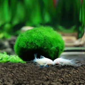 2PCS-Moss-Balls-Live-Aquarium-Plants-Ball-Shrimps-Fish-Tank-Top-Quality-New