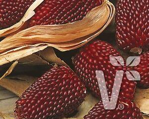 Erdbeermais-roter-Popcornmais-10-Samen