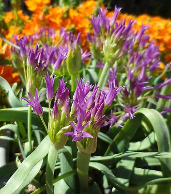 Allium falcifolium, 1 PACK OF SEEDS (20 seeds)