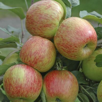 Grown Apple Tree 7 5l Pot 4 Ft Tall Fresh Braeburn Apples