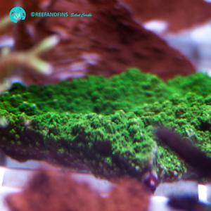Saltwater Live Emerald Green Montipora SPS Coral Frag