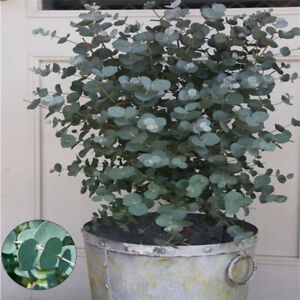 Details about Eucalyptus Coccifera Snow Gum Tree 30 Fresh House Plant on perennial silver foliage plants, silver grey and yellow wedding bouquet, silver weeping pear tree, white hosta plants, grey leaf plants, grey garden plants, white leaf plants,