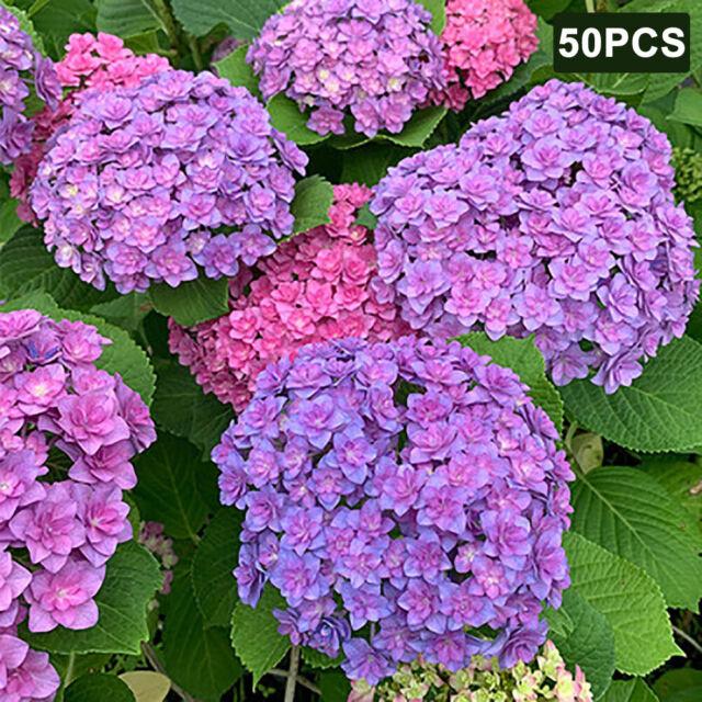 Qu/_ 50Pcs Hydrangea Ornamental Plant Flower Seeds Yard Garden Patio Bonsai Decor