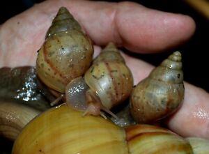 3-Giant-African-Land-Snails-GALS-Lissachatina-fulica-rodatzi-READ-DESCRIPTION
