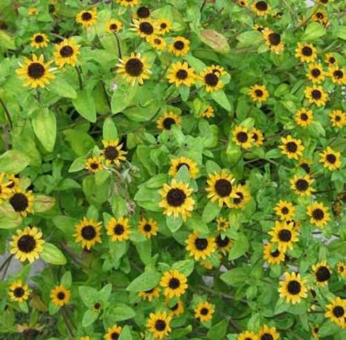 300 Sanvitalia Procumbens 3000 Seeds 1500 Creeping Zinnia