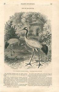 Grue-de-Mandchourie-a-couronne-rouge-Grus-japonensis-Oiseau-GRAVURE-PRINT-1860