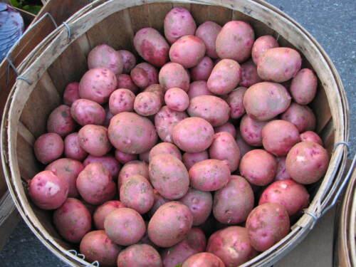MOZART Excellent Table Quality Potato ORGANIC 6 Tubers Potato Seed