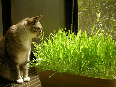 200 Seeds Of Each Pack Cat Grass Seeds For Your Cat Food Pet Grass Seed L001 Hot