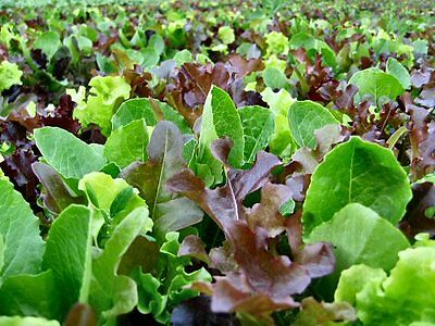 ORGANIC VEGETABLE  LETTUCE MIXED LEAF MESCLUN MIX  1000 SEEDS