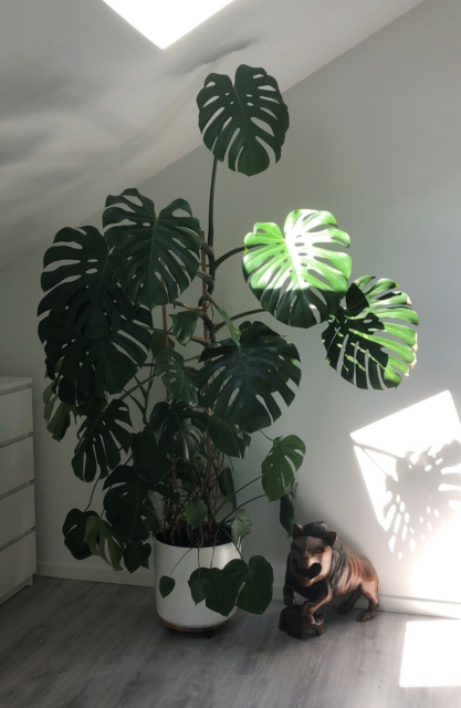 Finger  Philodendron, Monstera Deliciosa, Stor og super…