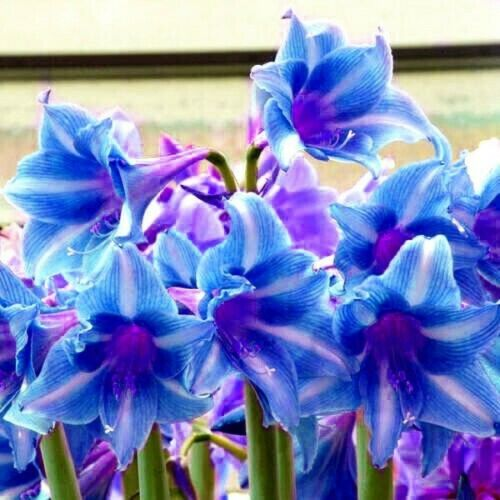 Perennial 1 Amaryllis Bulbs Resistant Hippeastrum Flower Blue Gift Plant Bonsai