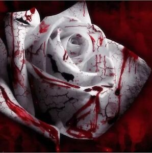 USA-Seller-100-White-Blood-Rose-Plant-Flower-Seeds-Flower-Garden-Asaka-Rare