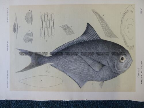 Antique Print 25344 Ray's Sea Bream Fish found in Victoria by McCoy