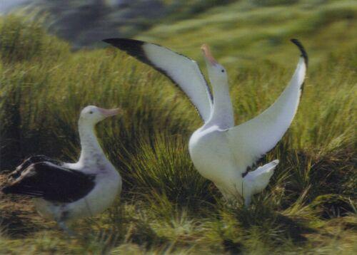 South Georgia Wandering Albatross Ansichtskarte: Wanderalbatrosse 3 -D